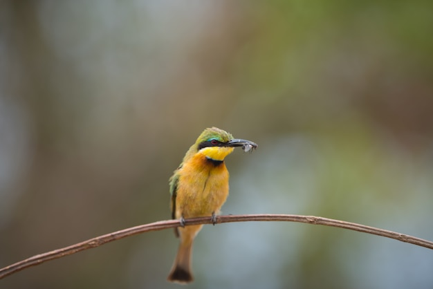 Bee-eater resting on the branch