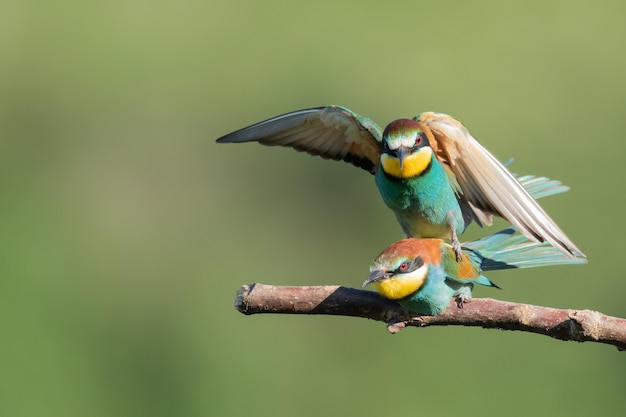 Bee-eater sitting on top of another one over the tree branch