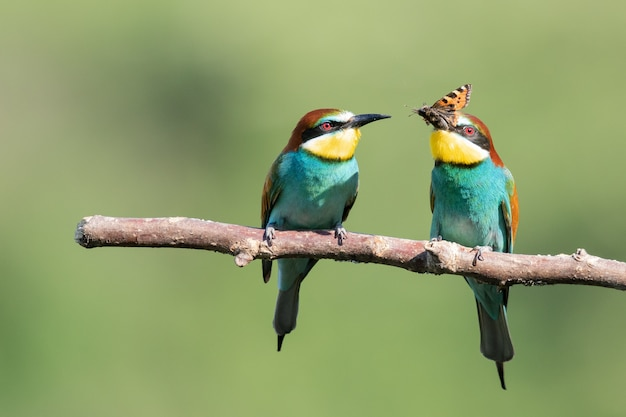 Bee-eater trying to eat an insect next to another one on the tree branch