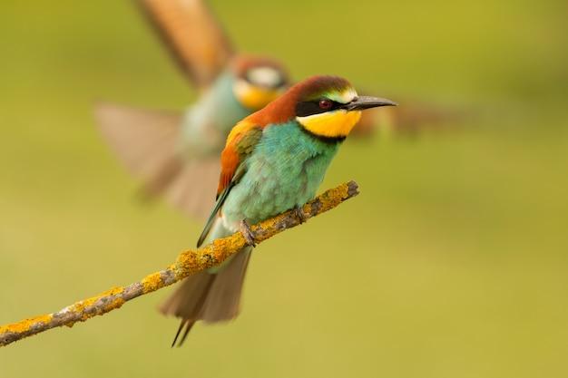 Bee-eaterの枝に、パートナーが飛んでくる