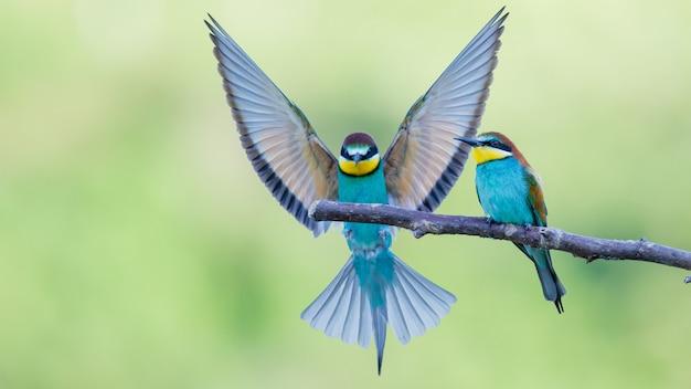 Пчелоеды с разноцветными перьями сидят на ветке дерева