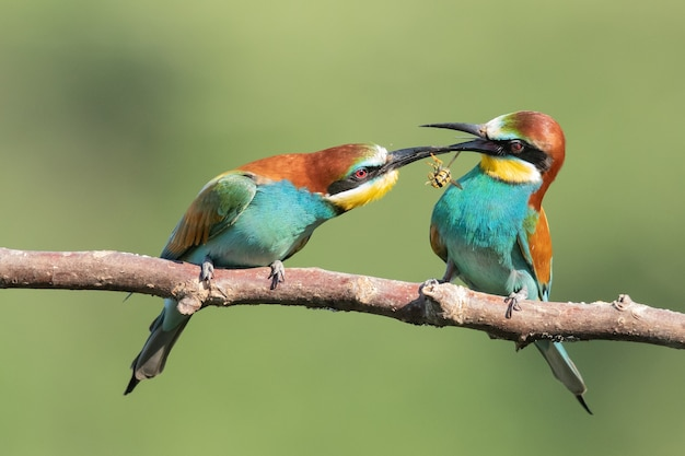 Bee-eaters with multicolored feathers sitting on the tree branch