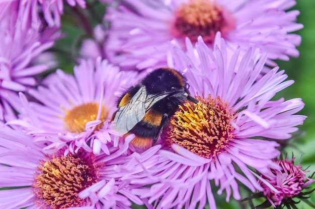 A bee eating honey from the aster amellus, the europe michaelmas daisies