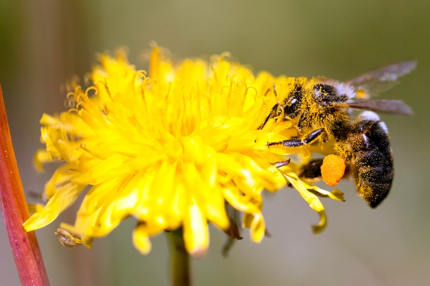 Bee extracting pollen from a flower is impregnated with pollen.