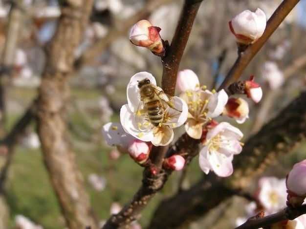 Пчела собирает нектар из цветка