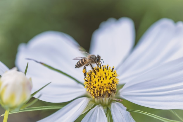 Bee and field of cosmos flower