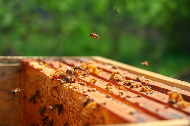 A bee flies over the hive