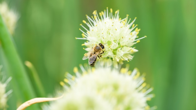 Bee and flower. close up of a large striped bee collecting pollen on onion flower. summer and spring backgrounds