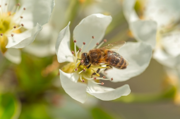 Bee on a flower of the white  blossoms. a honey bee collecting pollen