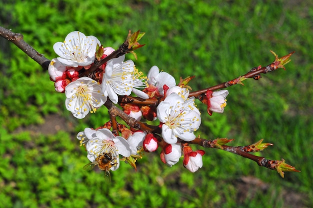 Bee on a flower of the white cherry blossoms on a sunny day.