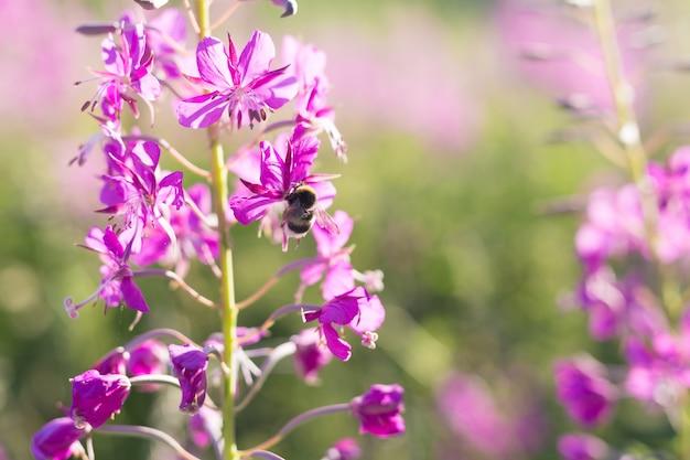 Bee on the flowers of willow-herb ivan tea, fireweed, epilobium flower in a field. summer. herbal tee.