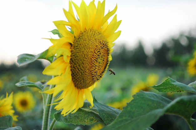 Bee fly to the sunflower.
