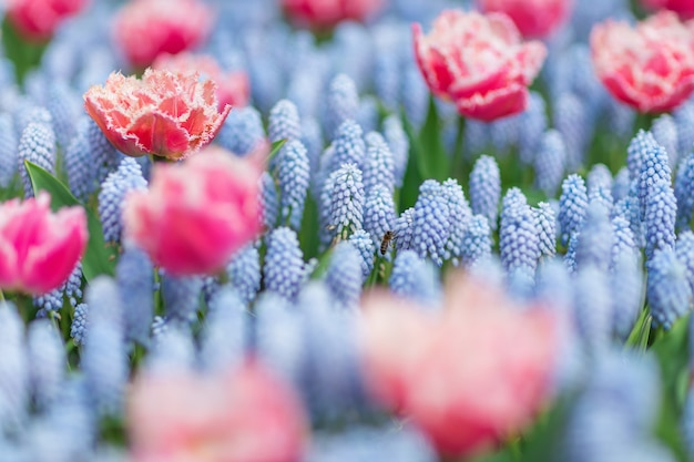 Bee flying among pink and white tulips and blue grape hyacinths (muscari armeniacum).