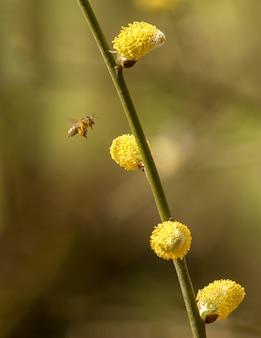 Bee flying around yellow willow catkins, wild