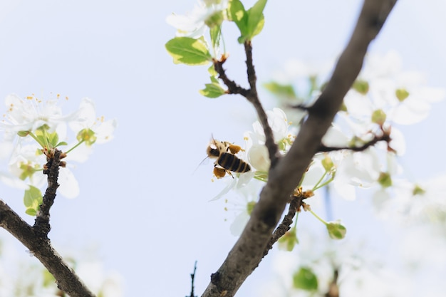 Bee flying over cherry or apple blossom