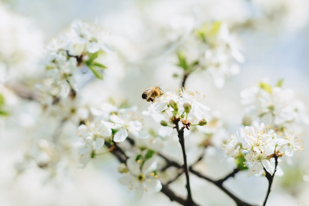 체리 또는 사과 꽃을 통해 비행 꿀벌