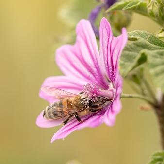 자연의 아욱 꽃에서 먹이를 찾아 헤매는 꿀벌