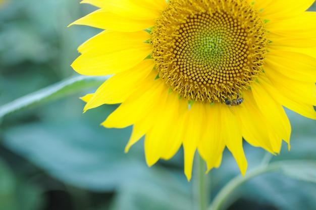 Bee gathers honey on the sunflower.