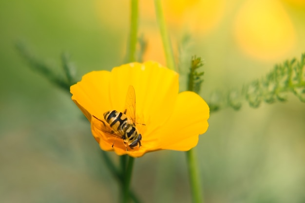 Bee gets pollen from an orange flower at morning sunlight orange flower and blurred grass