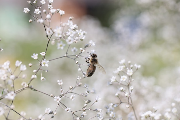 Bee on gypsophila flower in beautiful garden pollination of flowers by bees concept
