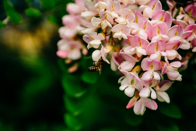 A bee harvests nectar on a pink acacia flower