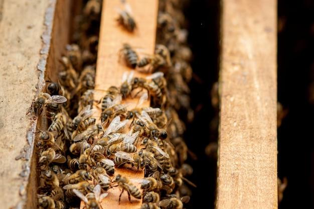 Пчела ухаживает за пчелами с сотами и пчелами. пчеловод открыл улей, чтобы установить пустую рамку с воском для сбора меда.
