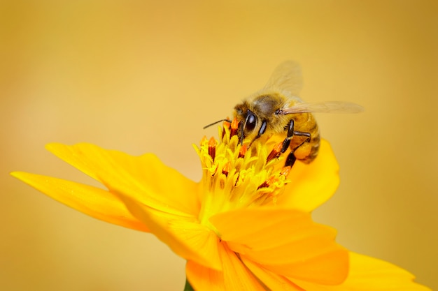 Bee or honeybee on yellow flower collects nectar. golden honeybee on flower pollen. insect. animal