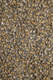 ハチの巣(apis mellifera)
