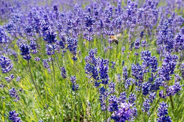 라벤더 들판의 꿀벌