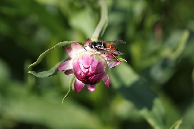 핑크 불모의 꽃 봉오리 근접 촬영 배경 아름다운 자연 개념에 앉아 꿀벌 곤충