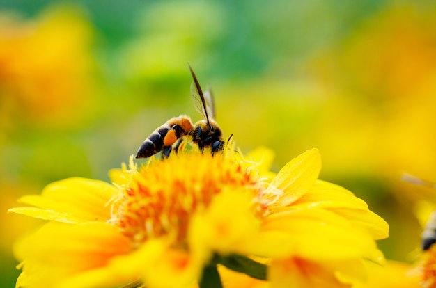 The bee is sucking the nectar of yellow flowers