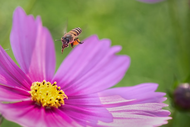 Bee is working for sweet from cosmos flower