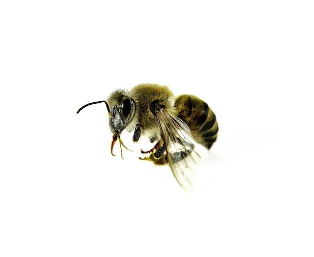 白で隔離された蜂。