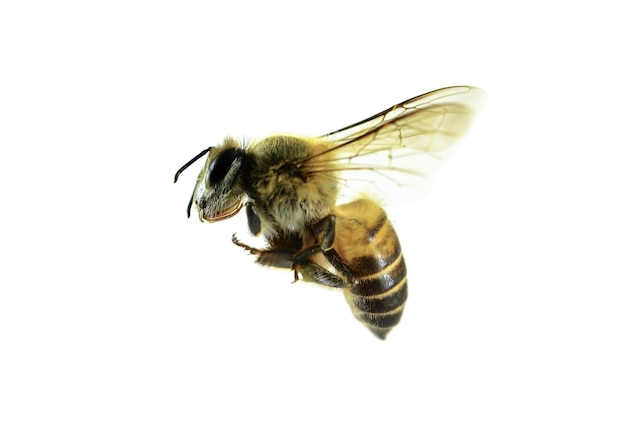 Пчела, изолированные на белом фоне.