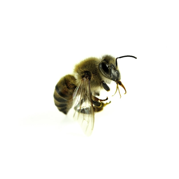 Bee isolated on the white.