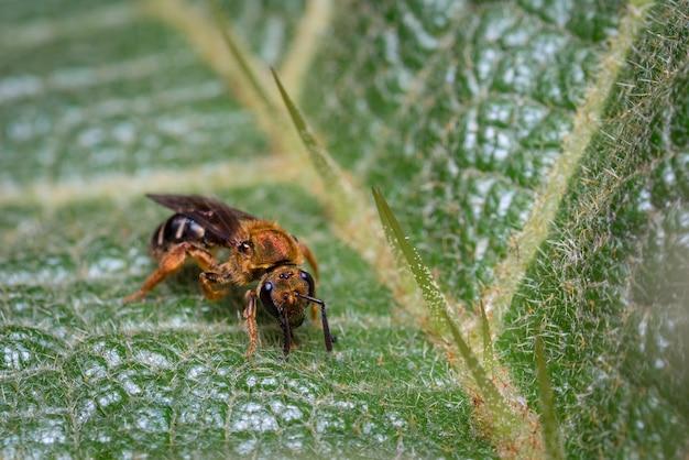 Пчела ищет капли воды на листе с шипами