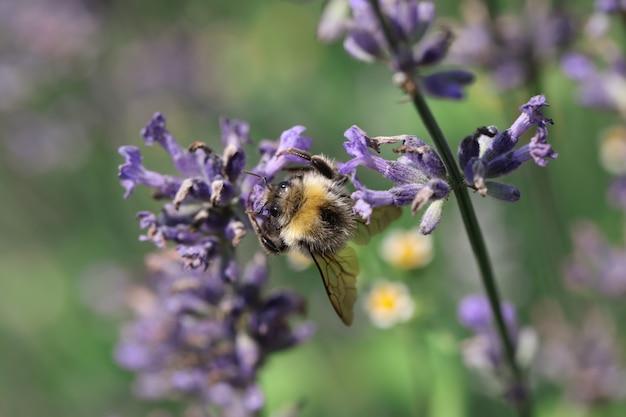 들판에서 라벤더 꽃의 꿀을 찾는 꿀벌