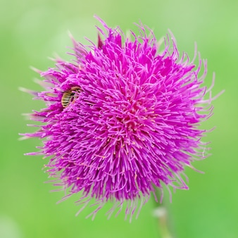The bee on the milk thistle (silybum marianum). shallow depth of field. close-up. macro.