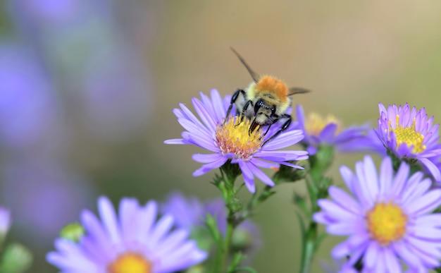 Пчела пыльцы собирает желтый пестик цветов розовой астры