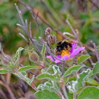 Пчела на критской каменной розе (cistus creticus l.)