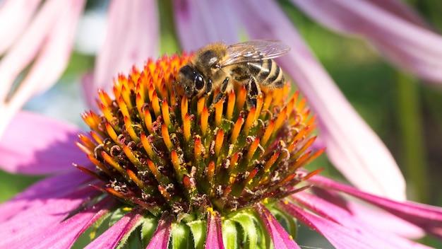 Пчела на цветке собирает пыльцу