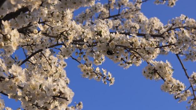 하얀 벚꽃의 꽃에 꿀벌. 꽃 나무, 꿀벌