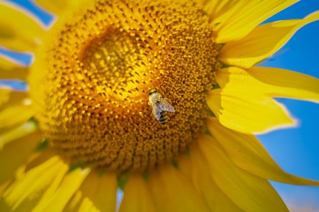 青い空を背景にひまわりの蜂。バナー。狭い焦点。