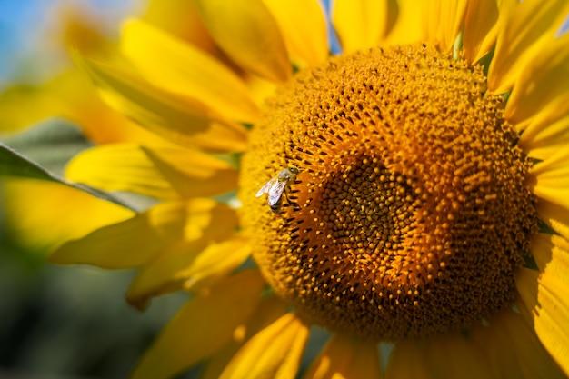 푸른 하늘에 대 한 해바라기에 꿀벌입니다. 배너. 좁은 초점.