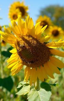 맑고 화창한 날에 해바라기 클로즈업에 꿀벌.
