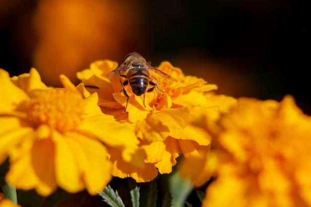 오렌지 메리 골드 꽃에 꿀벌