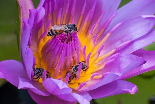 아름다운 연꽃에 꿀벌.