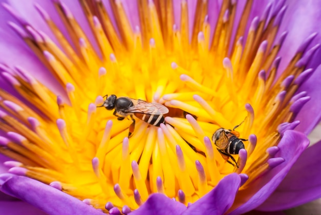 Пчела на красивом цветке лотоса.