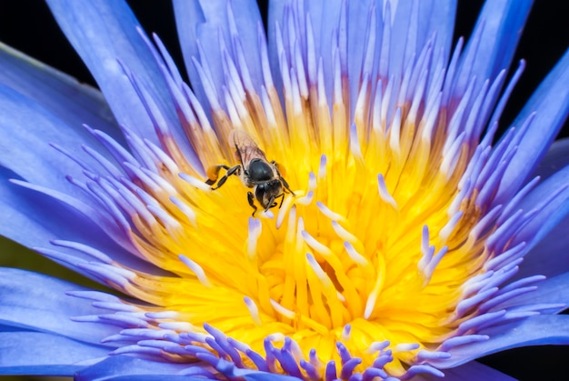 아름 다운 연꽃에 꿀벌입니다.