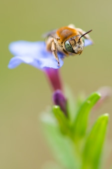 파란 꽃에 꿀벌